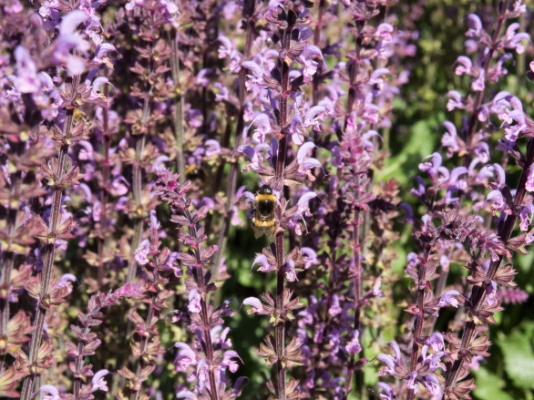 Purple plants, with bees