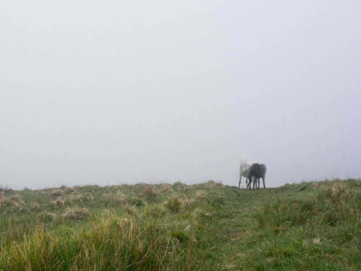 The Dartmoor Ponies